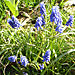 Grape_hyacinth