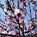 Apple_tree