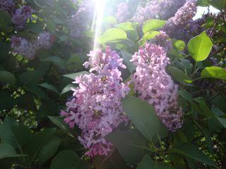Lilacs8