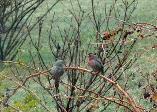 Purplefinches1