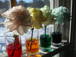 Carnations3