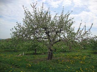 Springorchard3