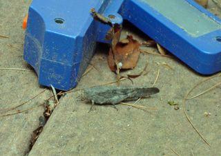 Locust?