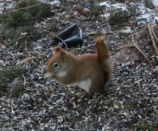 Redsquirrelnewcam1