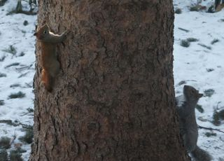 Redsquirrelnewcam2