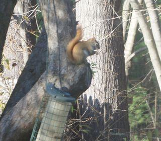 Rednecksquirrel