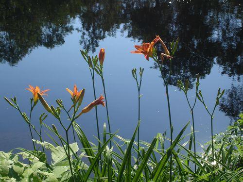Daylilies1