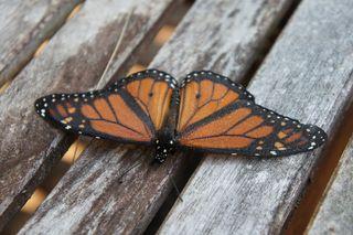 Monarch5