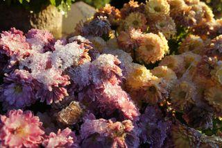 Snowonflowers3