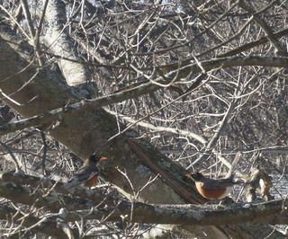 Fighting robins 3