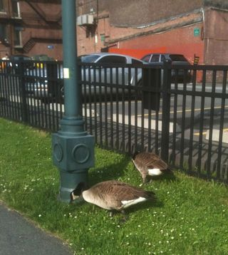 Two geese 2