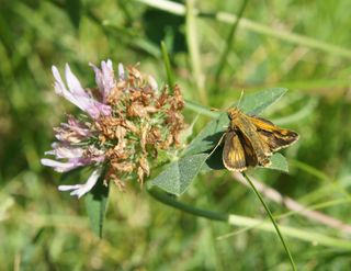 Orange moth on clover 1
