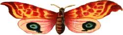 Wide-moth