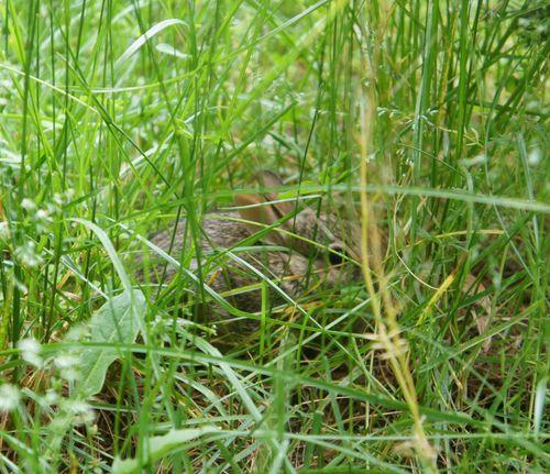 Bunny in yard