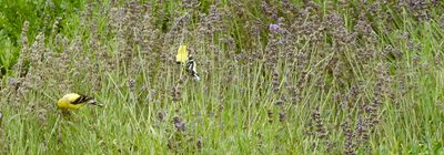 Goldfinches in lavender bed 1