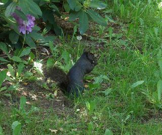 Black squirrel 1