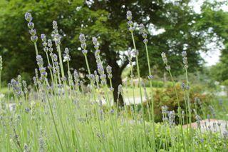 Lavender bed 1
