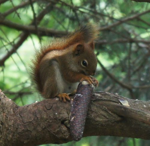 Red squirrel eating spruce cone 1