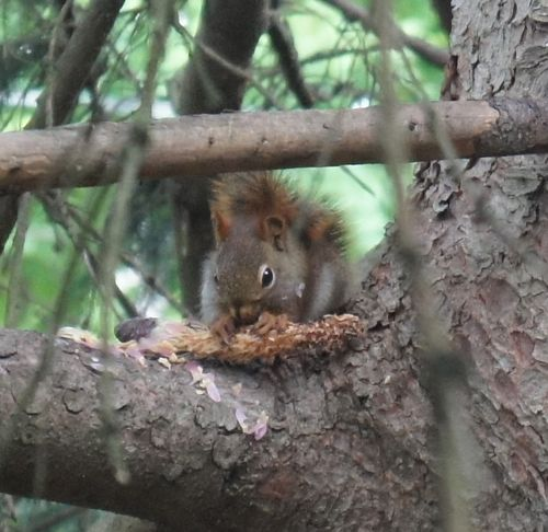 Red squirrel eating spruce cone 3