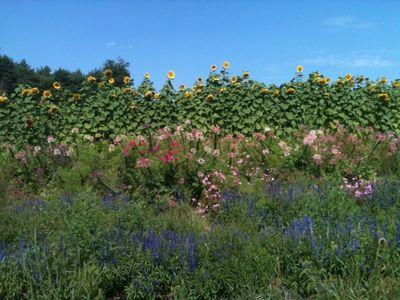 Brooksby sunflowers