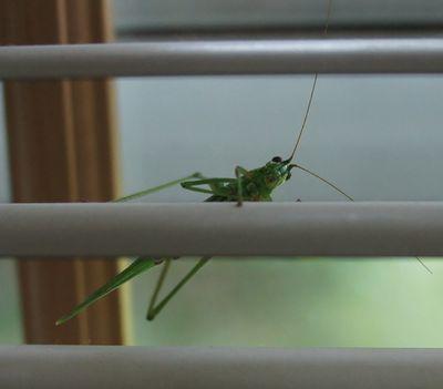 Katydid in window 1