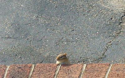 First chipmunk