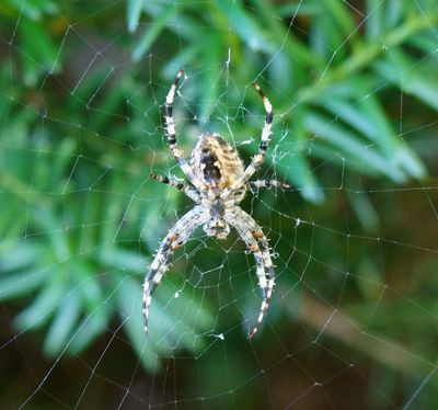Orb web spider