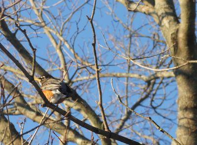 Robin in february 1