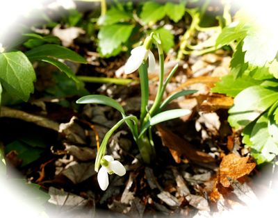 Snowdrop by chimney