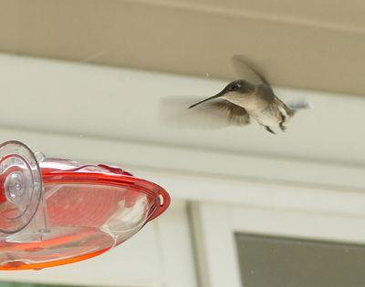 Hummingbird at new house 1