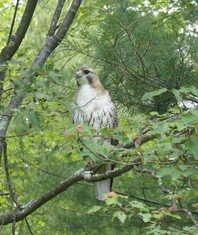 Hawk in tree 4