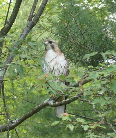 Hawk in tree 4
