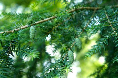 Spruce cones 1