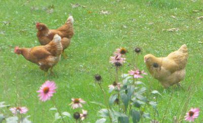 Chickens in yard 5