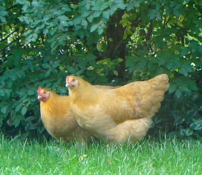 Chickens in yard 3