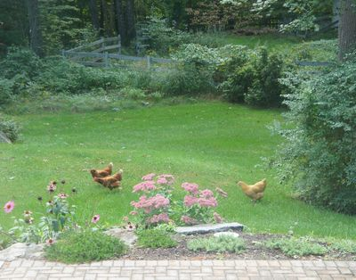 Chickens in yard 1