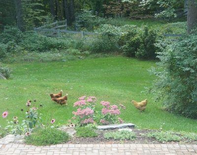 Chickens in yard 1