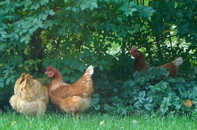 Chickens in yard 2