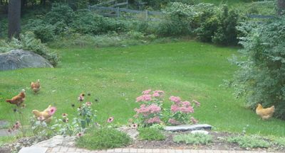 Chickens in yard 4