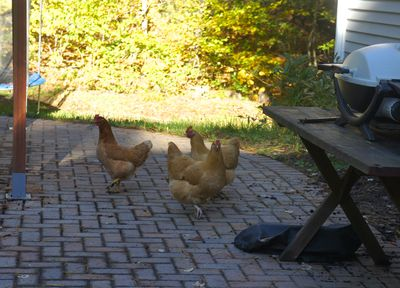 Chickens on patio