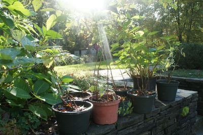 Potted raspberries