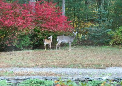 Deer out front 3