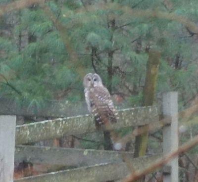 Owl watching hens 1