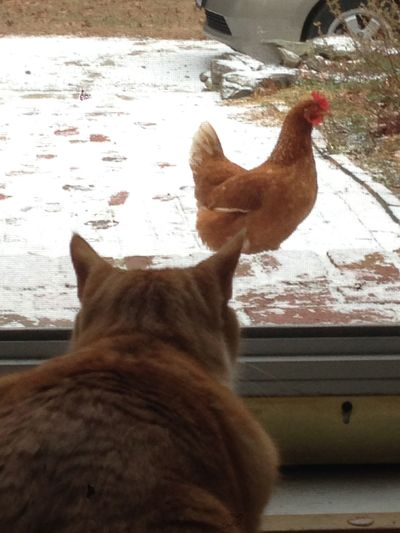 Archie and hen 1