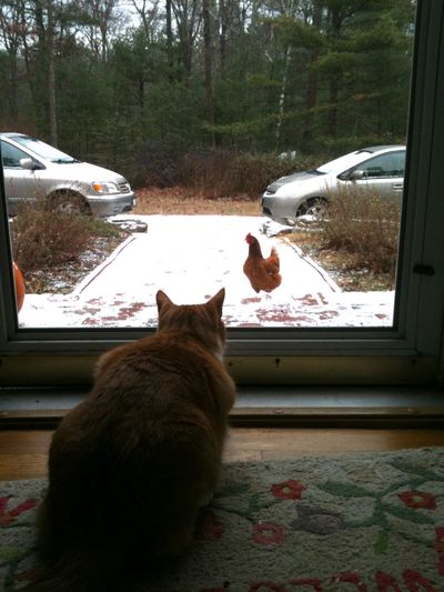 Archie and hen 3