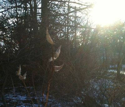 Advent peace milkweed