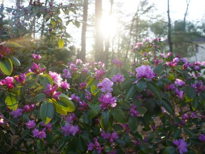 Azaleas sunrise