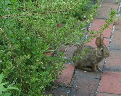 Baby bunny on walk 1