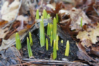 Daffodil shoots 2