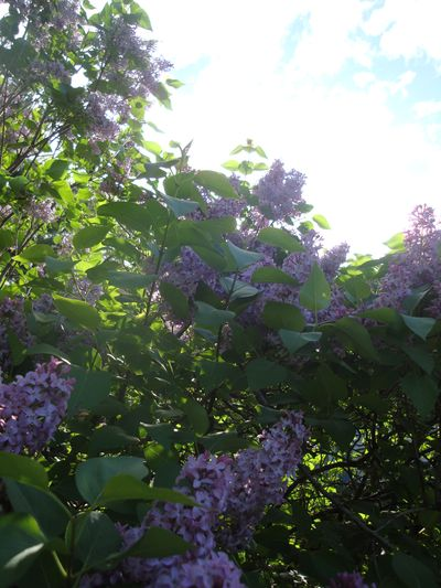 Lilacs ascension